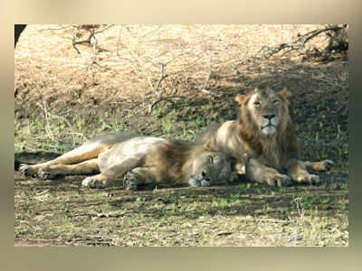 Gir loses 23 lions in 21 days; SC, Guj HC voice concern
