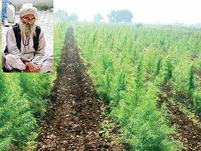 Lost in the weed! 80-year-old grew ganja to 'offer' at Jyotirlings