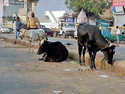 Cattle battle 5.O