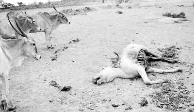 Heart-wrenching! Farm animals die of hunger in bone-dry Kollegal, just 140 km from Bengaluru