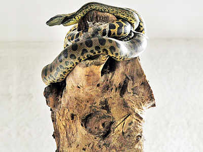 After penguins, Byculla zoo now wants Anacondas