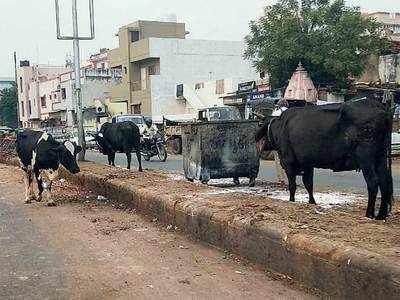 Cattle raaj