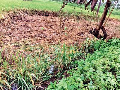 Rain wreaks havoc on crops