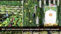 Madhya Pradesh: Lord Hanuman's temple decorated with 11000 mangoes of 21 species in Indore