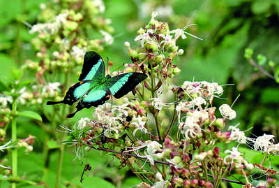 Karnataka: The life and times of a butterfly