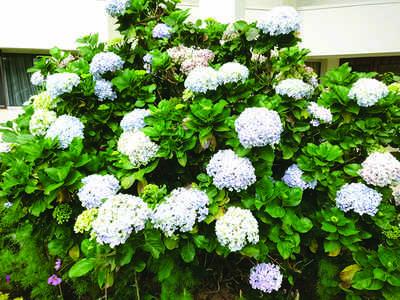 The greenskeeper: The magical Hydrangea