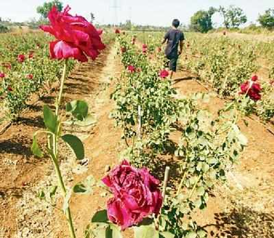 Vadodara civic body gets roses from farmers denied entry in market