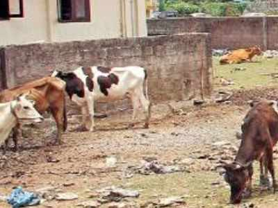 75 buffaloes rescued from Shahpur
