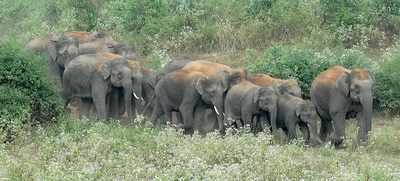Karnataka: Jumbo family planning: KFDC vice-chairperson suggests sterilisation to control elephant population