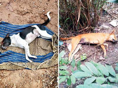 Dogs poisoned, one burned in Pimple Gurav