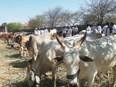 Ban on cattle slaughter has done little to stop beef trade in Maharashtra
