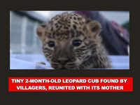 Pune: Tiny 2-month-old leopard cub found by villagers, reunited with its mother