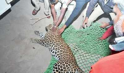 Mysuru: Man spots leopard in bed: Banana trader thought it was his dog but grew suspicious when he noticed the whiskers