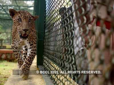 Gujarat: 80-year-old woman injured in leopard attack