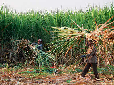 45 sugar factories continue operations