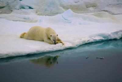 This heart-breaking video of polar bear struggling to survive is the real picture of climate change