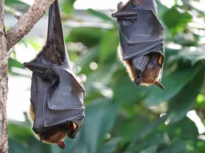 In Uttar Pradesh, 52 bats drop dead in 60 minutes