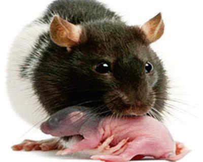 Rat moms teach babies their own fears via odour