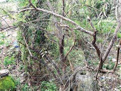 Marked by PMC for their importance, around 20 trees are facing various threats