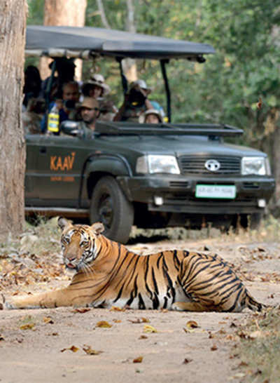National tiger conservation authority asks state to tame jungle traffic, protect the big cat