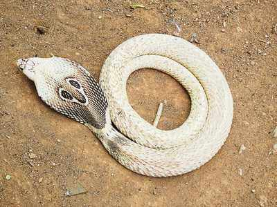 In Photos: Five-foot-long white adult Cobra rescued near Yelahanka Bagalur