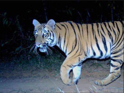 Maharashtra tigress' 500 km odyssey under shadow of death