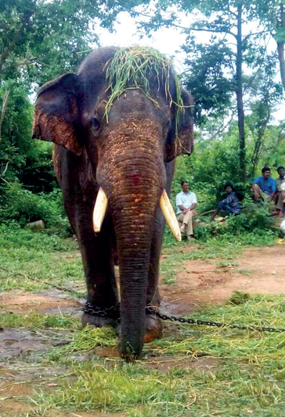 46-year-old elephant, Rowdy Ranga, from Mathigodu elephant camp dies; forest dept wants more vets in sensitive zones