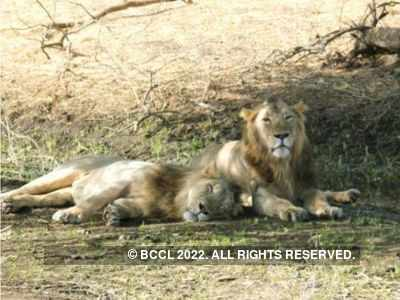 Sasan Gir Wildlife Division calls for entries to World Lion Day 2020 contest