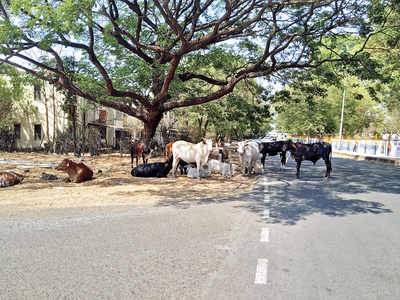 Stray cattle trouble in Range Hills estate area, Residents claim it poses a huge risk of fatal accidents