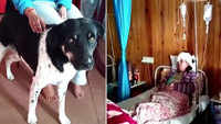 Darjeeling: Brave Dog 'Tiger' saves 58-year-old owner from leopard attack