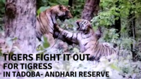 Watch: Rare sight of two male tigers fighting while young tigress stare haplessly