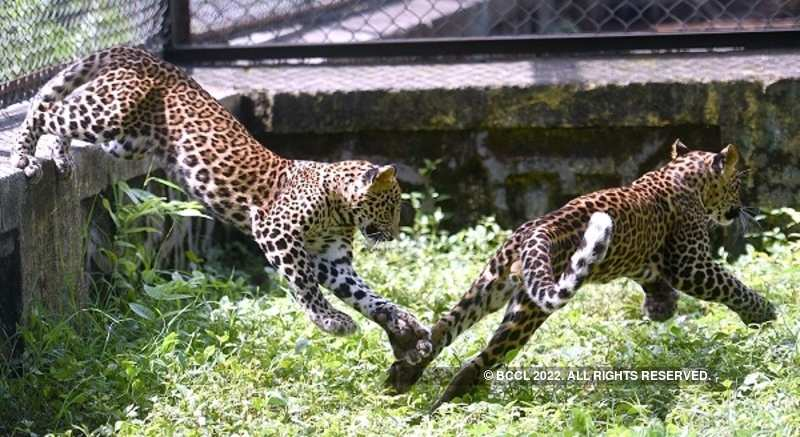 Rescued leopard cubs now healthy ones