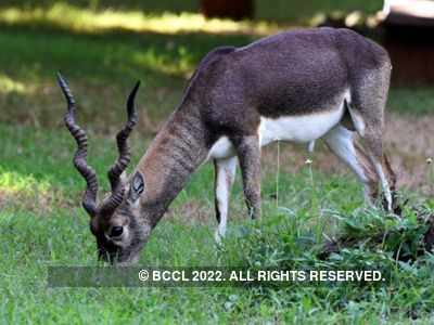 Four blackbucks die after attack by stray dogs in Pune