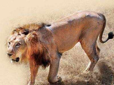 AI to be used in lion census 2020