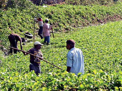 Local bodies to join hands for hyacinth drive