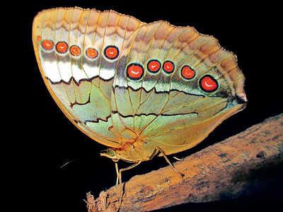 7 butterflies race for national honour