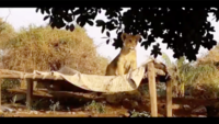 Watch: Lion cubs take shelter at Gujarat farm