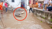 Vadodara rains: Crocodiles terror continues as more enter residential complex due to waterlogging