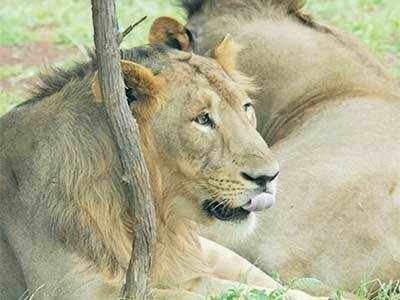55 teams to keep watch on Gir lions
