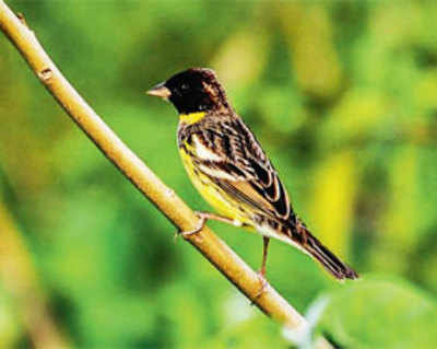 Bird gets endangered tag from BNHS