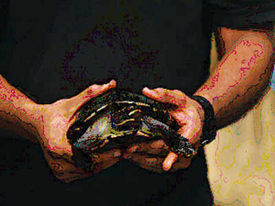 Turning turtle: 63 rescued reptiles will fly to Assam