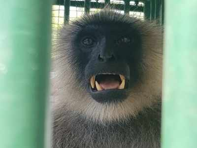 Forest department nabs menacing monkeys in Shahibaugh