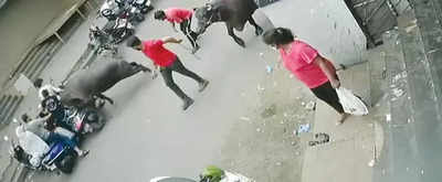 Not a-moo-sed: Buffalo 'attack' leads to plaint