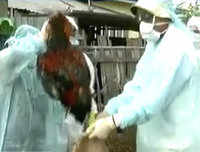 Bird flu-hit Manipur begins culling of poultry livestock