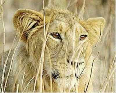 The curious case of Gujarati lions