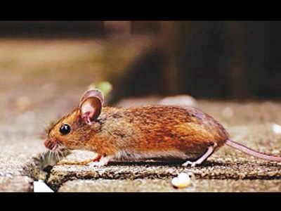New drug blocks COVID, variants in mice