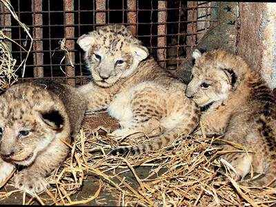 Big cats of Gir facing a big problem: 26 lions and 5 cubs might never be released back into the wild