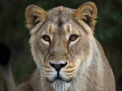 Lioness dies of dehydration in Gir