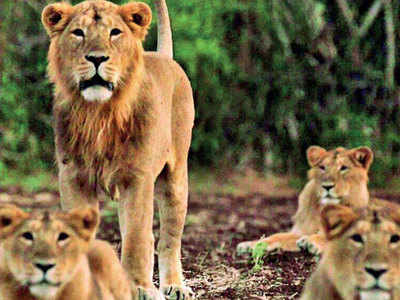 'Elevated corridor can prevent lion deaths'