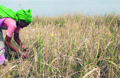 The grapes of rot: Govt bought 56,000 quintals of wheat, only to waste